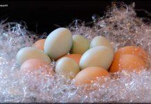 Huevos de gallinas araucanas